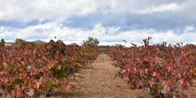 Descubre cómo descansan y se reponen las cepas durante el invierno: Del agostamiento a la parada vegetativa, la clave de la perennidad de la vid.