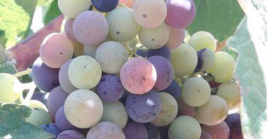 El envero: Inicio del proceso de maduración de la uva