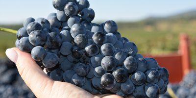 Vendimia 2019: La culminación de un año de viticultura