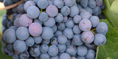 El proceso de maduración de la uva